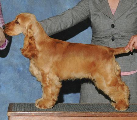 щенок кокера в 4 месяца